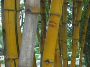 Bambus in einem Garten in Kathmandu, Nepal 2012